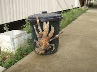 Coconut Crab Birgus latro