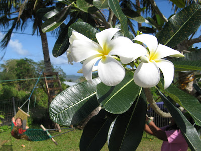 Saipan Plumeria State Flower