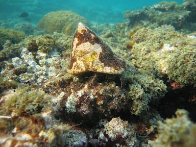 majuro underwater crab