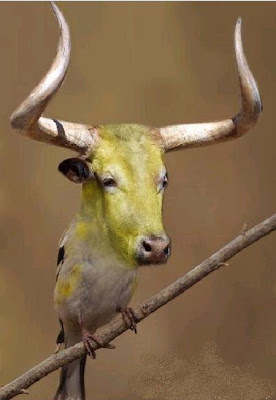 Bullfinch Pyrrhula pyrrhula