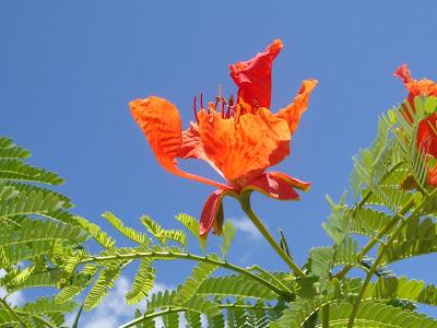Saipan Flame Tree Blossom