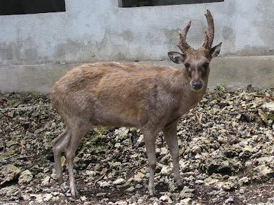 Sambal Deer Rota