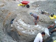 Escavação de série de vertebras caudais de saurópode, jazida PN15000. Torres Vedras, 2003
