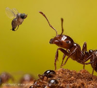 A phorid fly approaches a fire ant worker to attempt to lay a parasitic egg