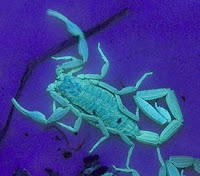 a striped bark scorpion glows under black light