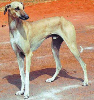 Indian Dog Breeds Chippiparai