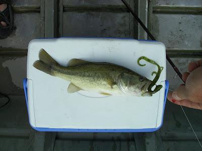 Fish missouri august 2008 for Busch wildlife fishing