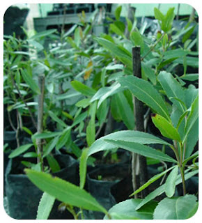 Image: Khat plant boosts sperm power