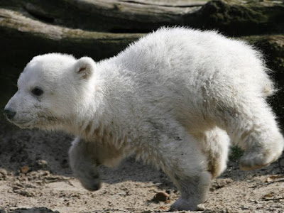 Knut cute polar bear 9