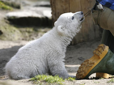 Knut cute polar bear 5