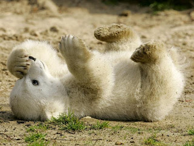 Knut cute polar bear 1