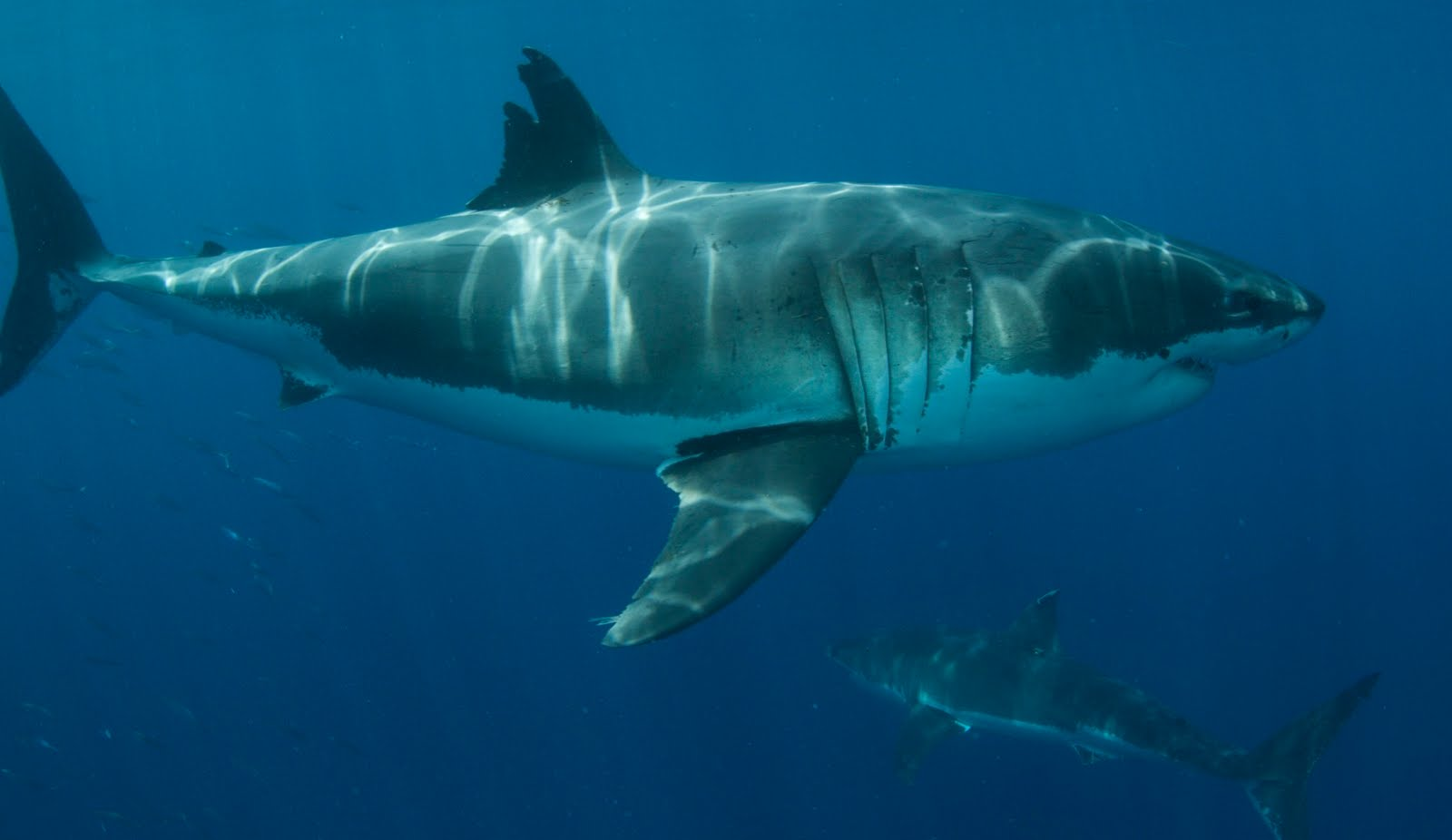 the shark diving international team blog 8 15 10 8 22 10 cal has to be the coolest white shark ever this handsome brute is the most cooperative white shark i have ever seen