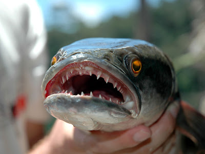 Saskatchewan targets the northern snakehead • Outdoor Canada