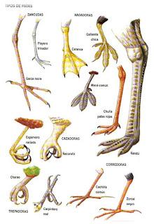 tipos de patas