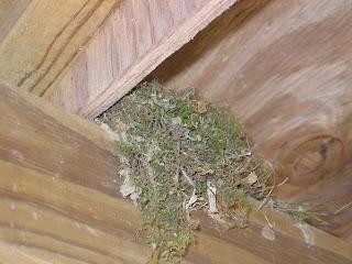 Thrasher nest