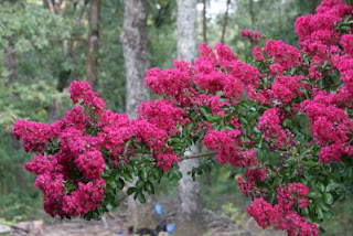 Flame red crepe myrtle branch