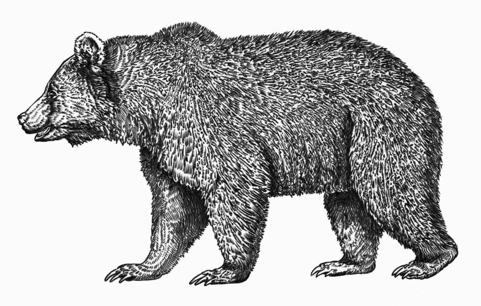 WRC Illustration & Design Blog: February 2011 Walking Bear Drawing