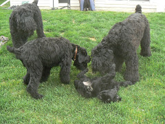 Blackies Playing With A Young One