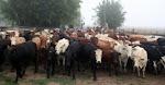 O gado da fazenda