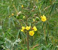 Buttercup tree flowers