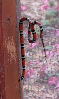 Tropical King Snake