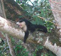 White-faced Capuchin in Costa Rica