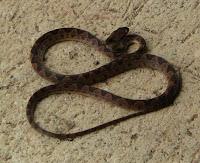false fer de lance snake