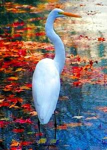 Autumn Egret November 2008