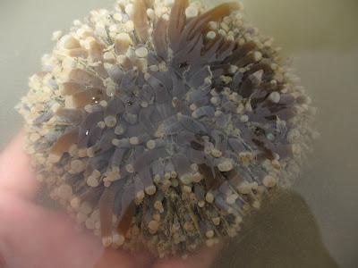 Heliofungia Sunflower Mushroom Coral