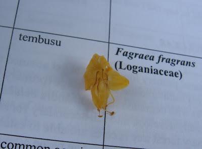 Tempusu Fagraea fragrans