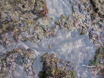 giant reef worm eunice
