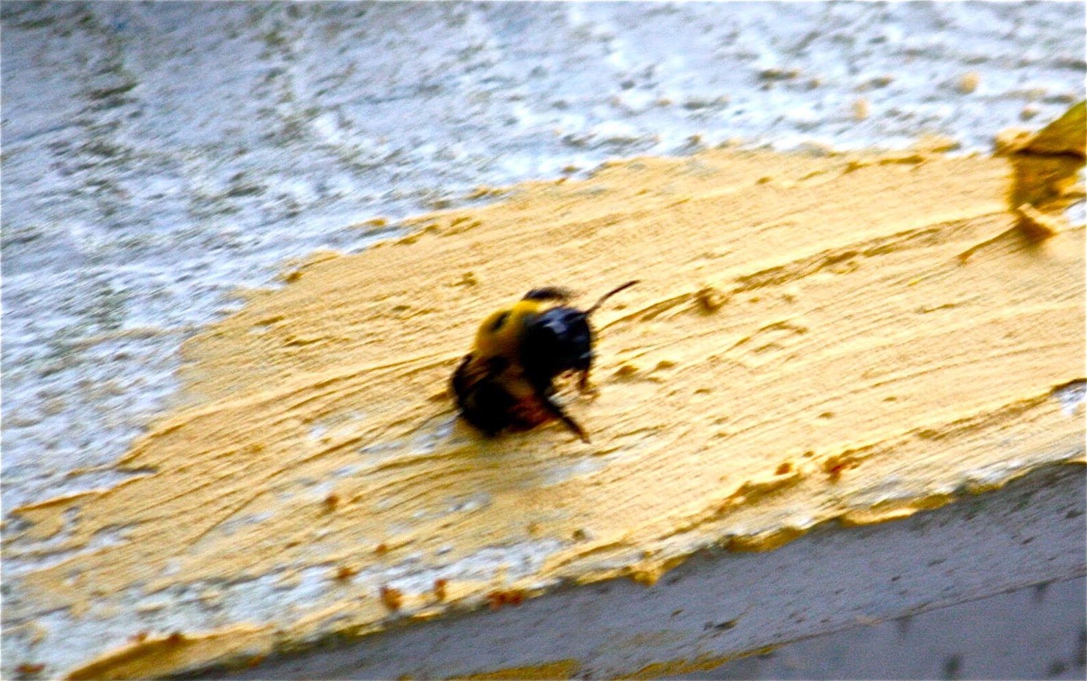 Carpenter bees - photo#52