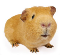 R Guinea Pigs Rodents the Guinea Pig a Rodent