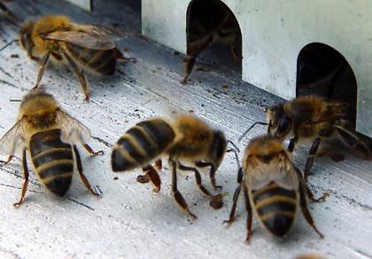 la nature en danger les abeilles en voie d 39 extinction. Black Bedroom Furniture Sets. Home Design Ideas
