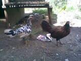 pure hen
