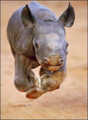 http://1.bp.blogspot.com/_izzD5qnVyWo/TSOCLdKfRlI/AAAAAAAAG-s/dDCM1YVAsew/s1600/baby_rhino.jpg