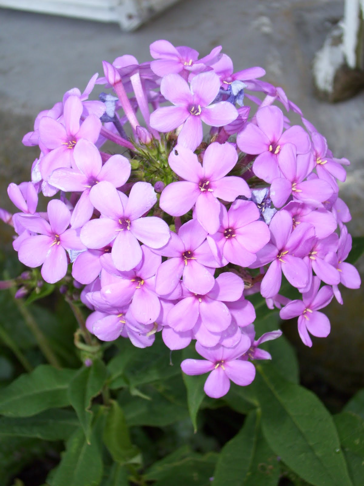 Purple flower names beautiful flowers 2019 beautiful flowers mightylinksfo