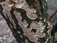 Stereum rugosum