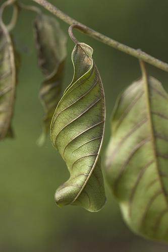 [leaf+shrivelled]