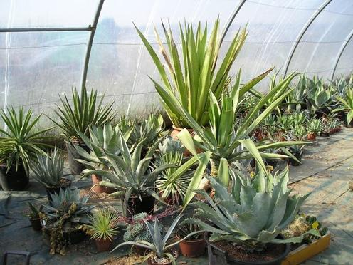 [agaves]