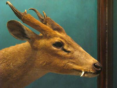 Deer Fangs