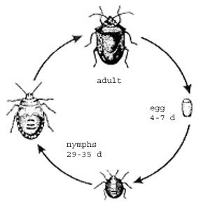 Life is full of mystery: Black Bugs Life Cycle
