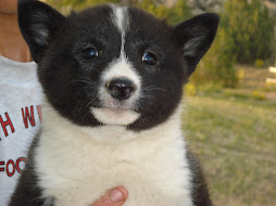Karelian Bear Dog Female Puppy