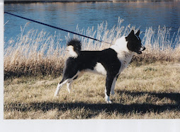 Karelian Bear Dog Adult Male