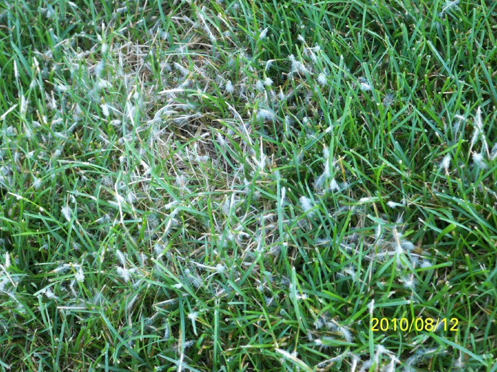 Preferred iaTURF: PYTHIUM BLIGHT IN LAWNS TF11