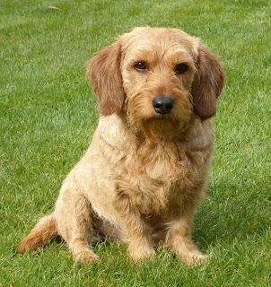 Basset Fauve de Bretagne Puppy's