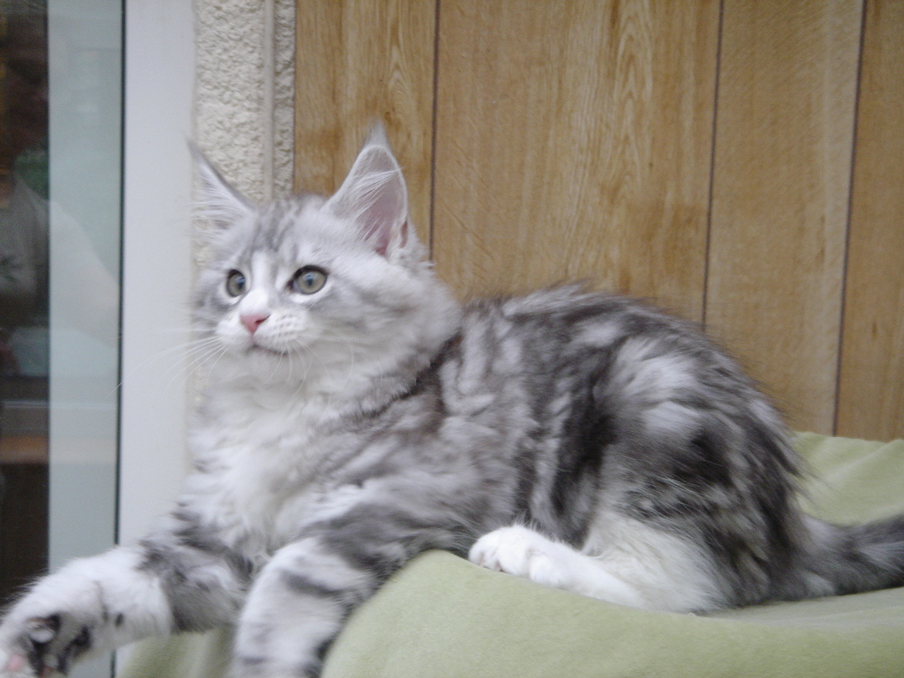 amazing dogs breeds maine coon cat. Black Bedroom Furniture Sets. Home Design Ideas