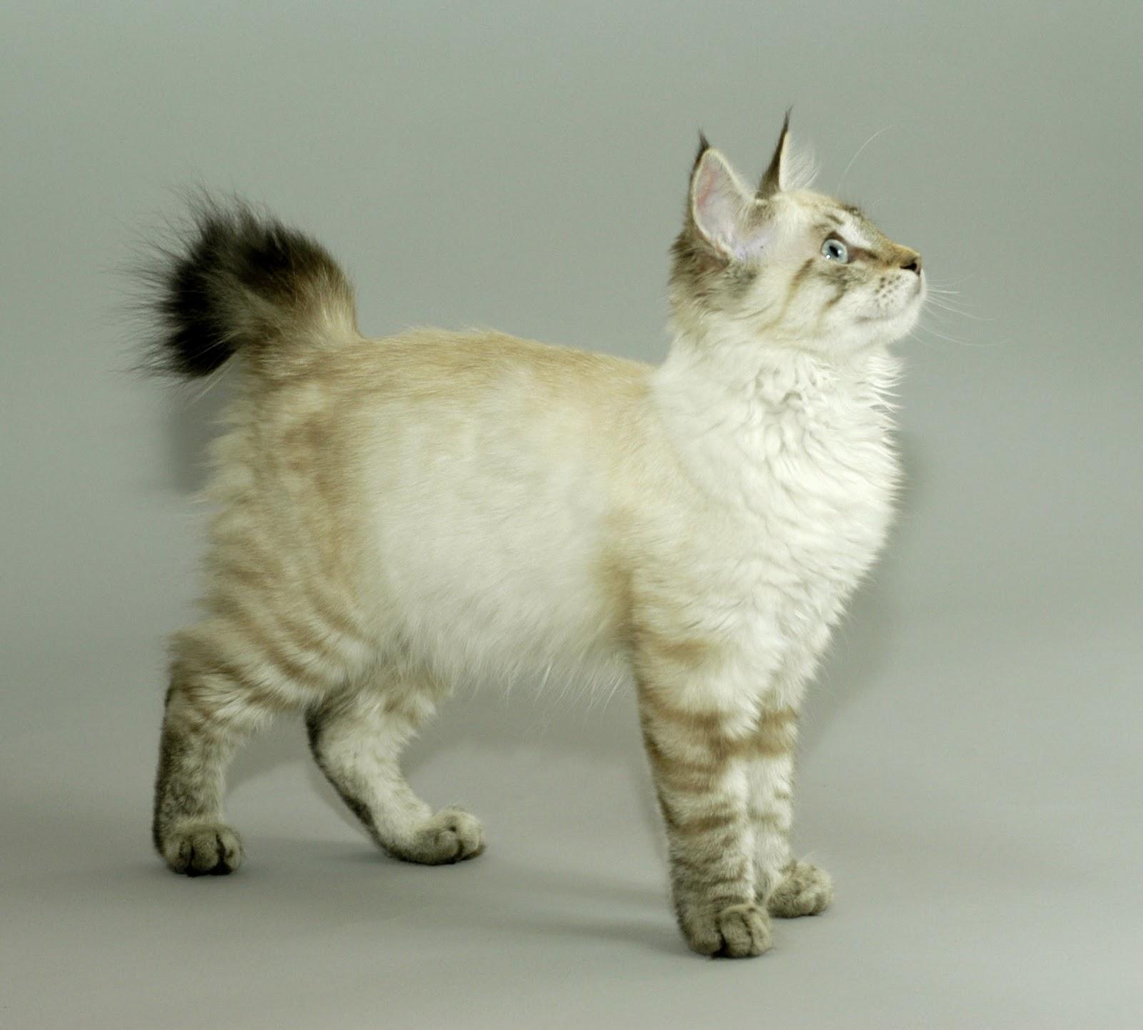 Amazing Dogs Breeds: Pixie-Bob Cat