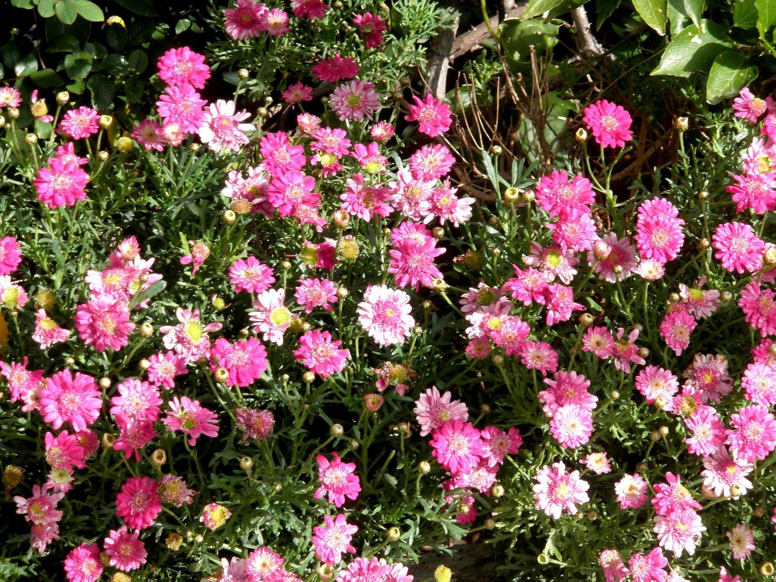 Jardinbio argyranthemun frutescens margaritas magarza - Plantas para el jardin todo el ano ...