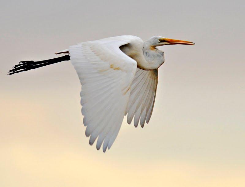 Siberian Crane (with images, tweets) · Alona · Storify